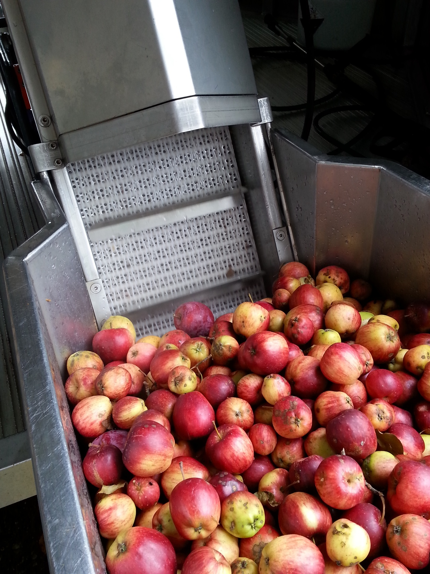 The apples begin their journey up the conveyor
